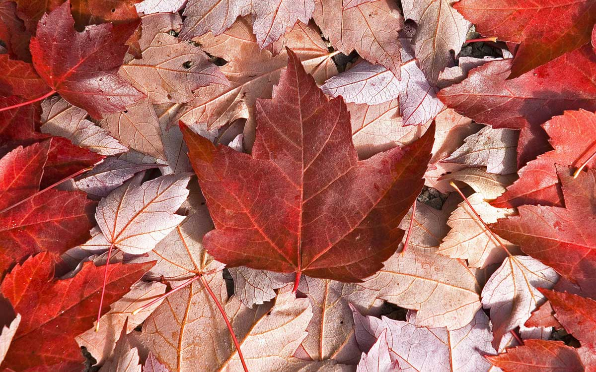 Tn image of maple leaves laid out to look like the Canadian flag.